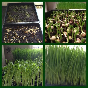 wheatgrowing